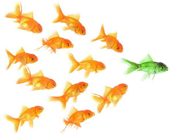 Goldfish follow their leader stock photo