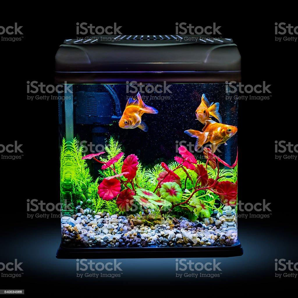 Goldfisch Im Eine Nacht Beleuchtet Aquarium Stockfoto Und Mehr Bilder Von Aquarium Aquarium Oder Zoo Istock