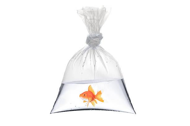 poisson rouge dans un sac en plastique - poisson rouge photos et images de collection