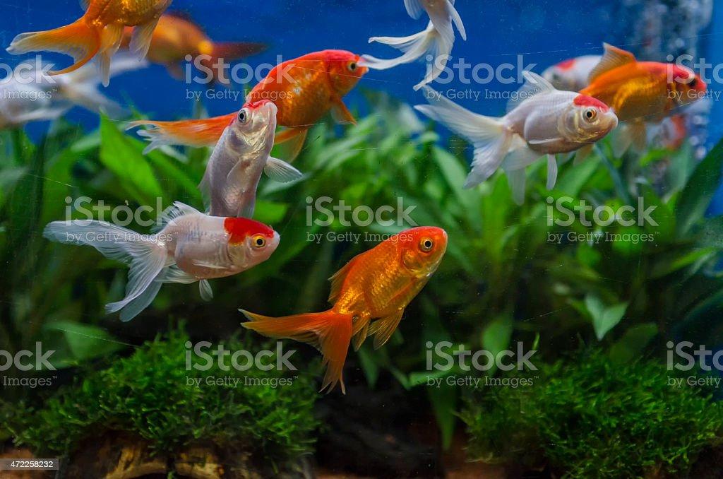 goldfish in an aquarium stock photo