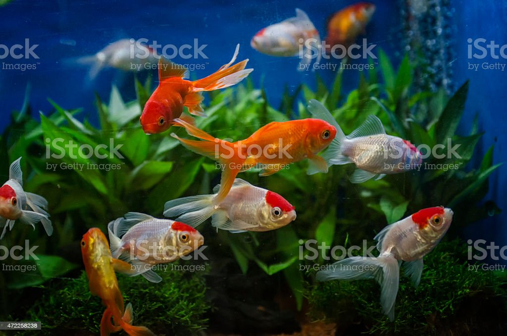 goldfish in an aquarium stock photo