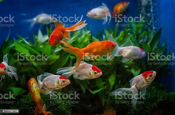 Photo of goldfish in an aquarium