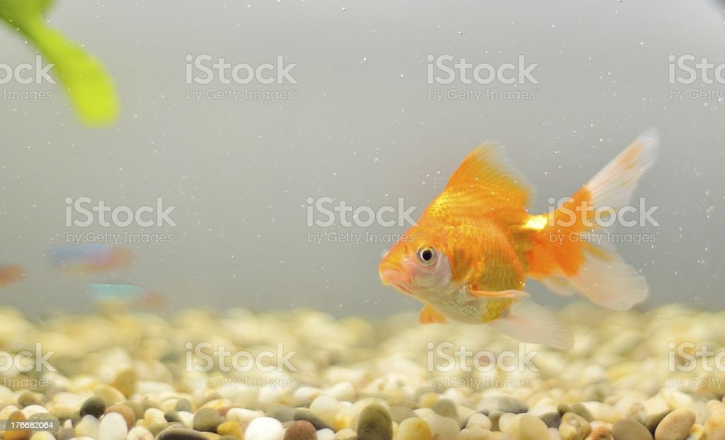 Goldfish in an aquarium with stones royalty-free stock photo