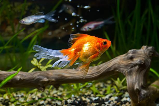 Goldfisch in aquarium – Foto