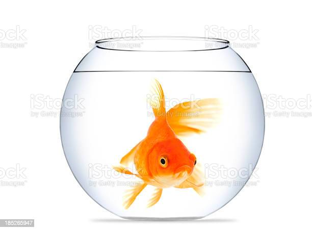Goldfish in aquarium picture id185265947?b=1&k=6&m=185265947&s=612x612&h=i3l7axkrxmt88o4wmrpszgw4pwmdo3gczwiz3bp fqm=