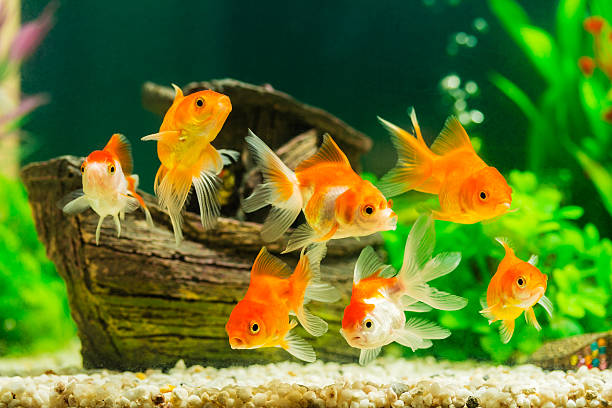 Goldfish in aquarium with green plants Goldfish in aquarium with green plants aquarium stock pictures, royalty-free photos & images