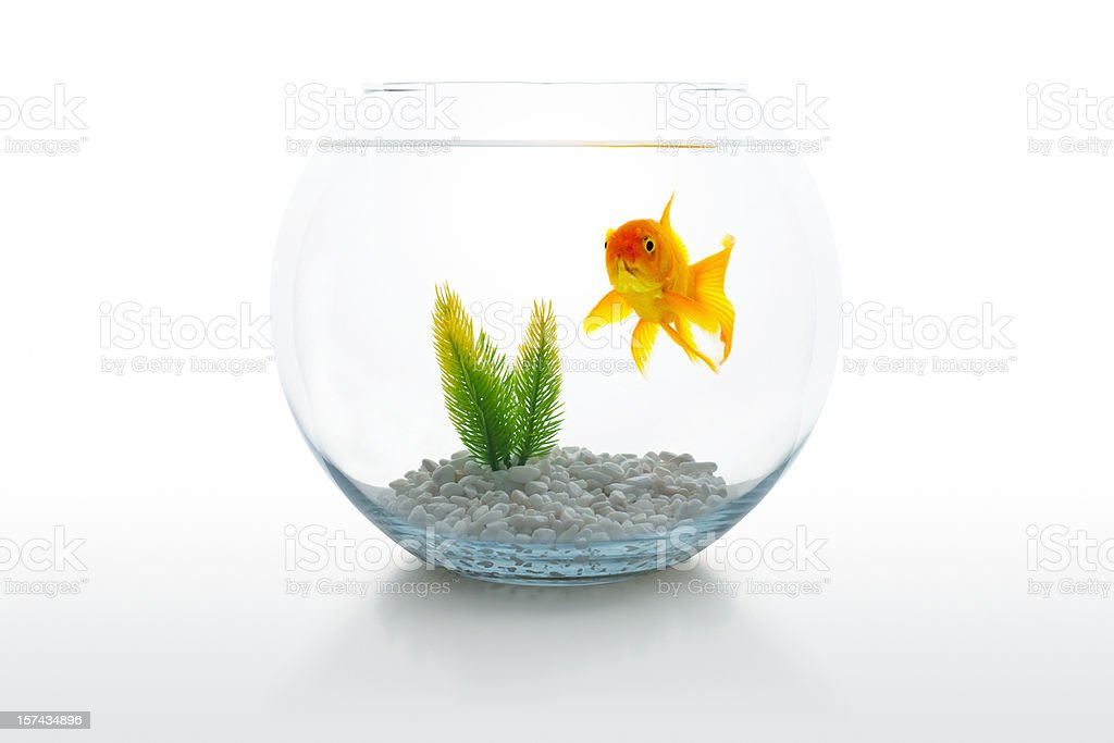 Goldfish in bowl royalty-free stock photo
