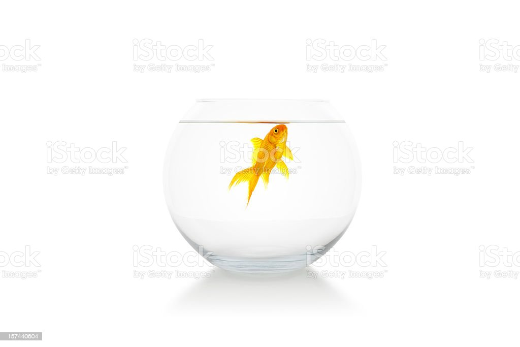 Goldfish in bowl royalty-free stock photo