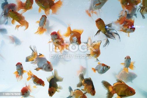 istock Goldfish in cloudy fish tank 1169797659