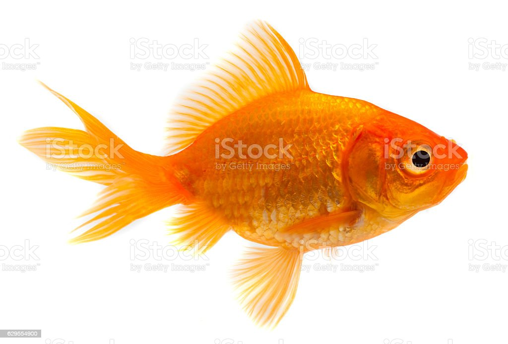 Goldfish in front of a white background stock photo