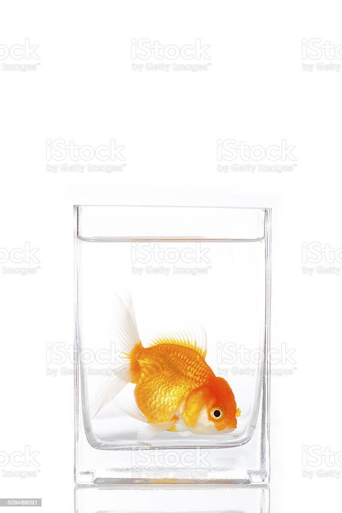 Goldfish in glass stock photo