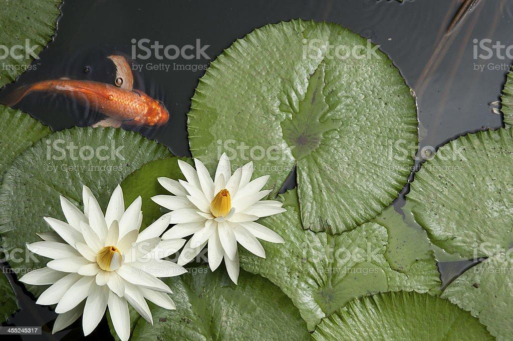 Goldfisch in Lotus-Teich – Foto