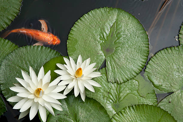 goldfish in lotus pond - foderblad bildbanksfoton och bilder
