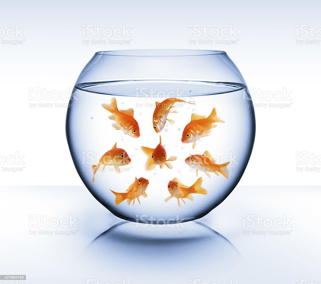 goldfish in opposite stock photo