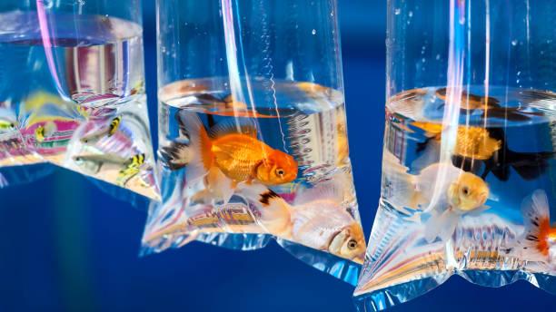 Goldfish in the bag. stock photo
