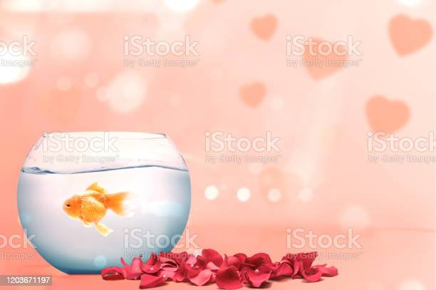 Goldfish in the fishbowl and red rose petals on a pink background picture id1203671197?b=1&k=6&m=1203671197&s=612x612&h=kvjqqcvnizqjbjs1y33mhhfehdfksrxqz4 8ydkwswu=