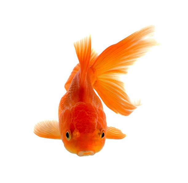 poisson rouge isolé sur fond blanc. - poisson rouge photos et images de collection
