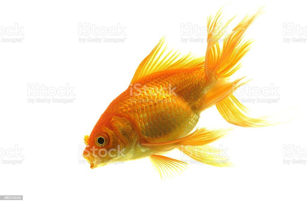 Goldfish isolated on white background royalty-free stock photo