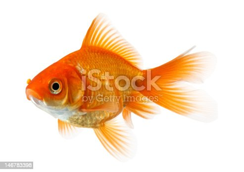 profile of goldfish isolated on pure white background,  see also: