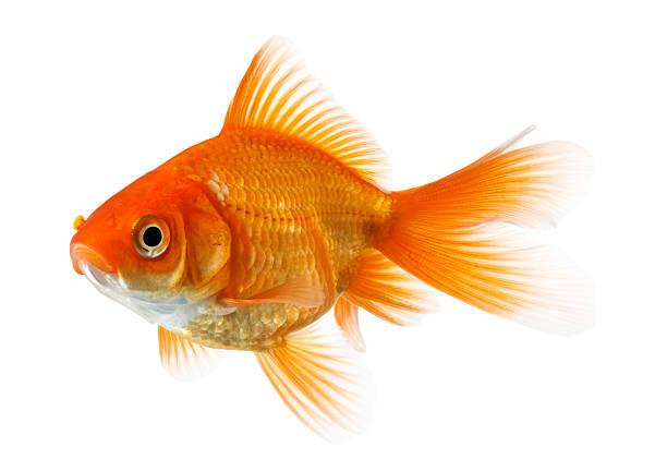 poisson rouge isolé sur blanc - poisson rouge photos et images de collection