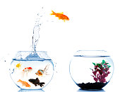 goldfish jumping off to new home from his overcrowded fishbowl