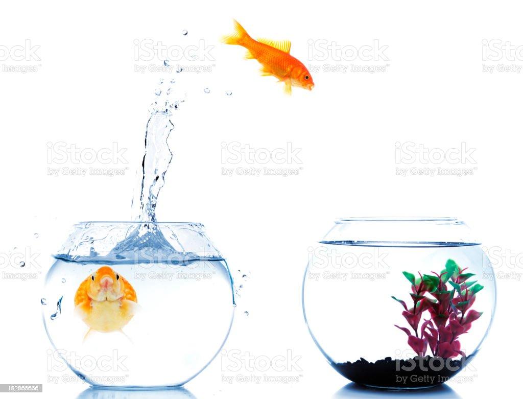 Goldfish jumping off to new fishtank royalty-free stock photo