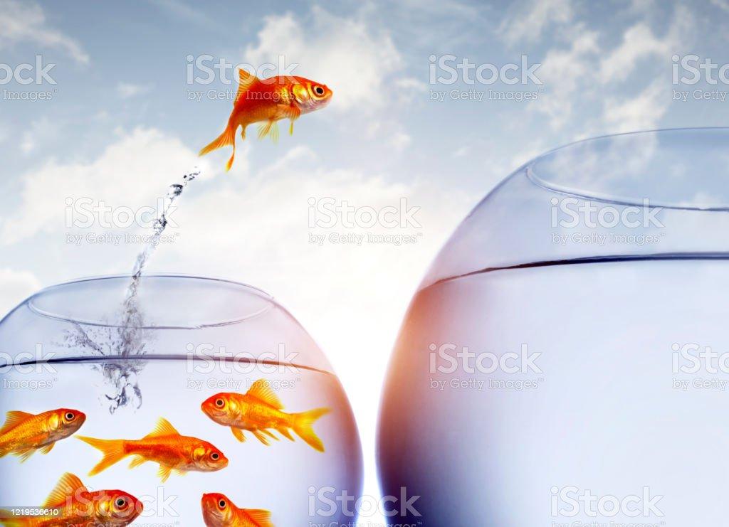 Goldfische springen aus dem Wasser aus einer überfüllten Schüssel - Lizenzfrei Alles hinter sich lassen Stock-Foto