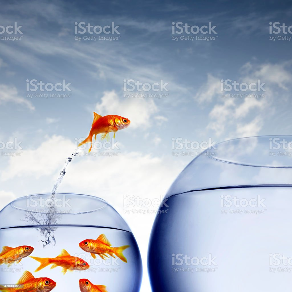 goldfish jumping out of the water from a crowded bowl stock photo