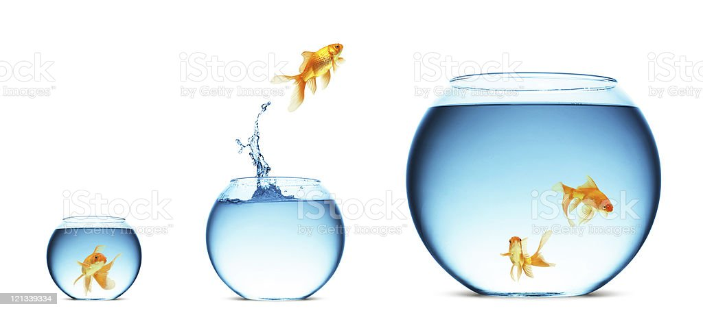 goldfish jumping out of the water royalty-free stock photo