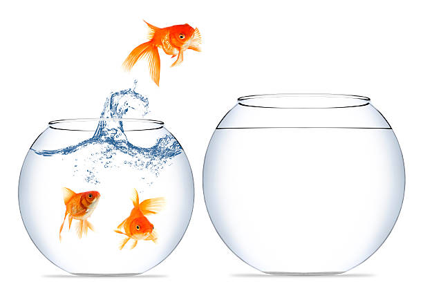 goldfish jumping out of the water - animals in captivity stock pictures, royalty-free photos & images