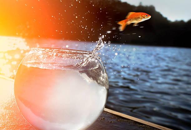 poisson rouge sautant hors de l'eau - poisson rouge photos et images de collection