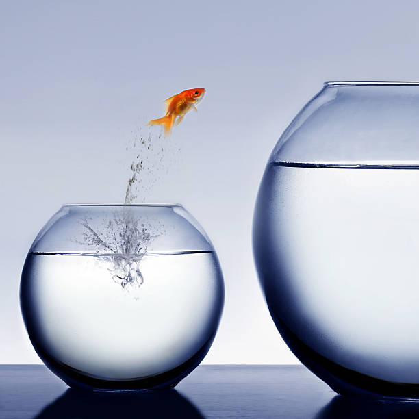 goldfish jumping out of the water - one animal stock photos and pictures