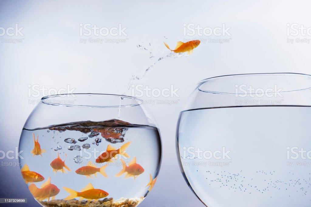 Goldfisch springt zu einer größeren Schüssel - Lizenzfrei Abgeschiedenheit Stock-Foto