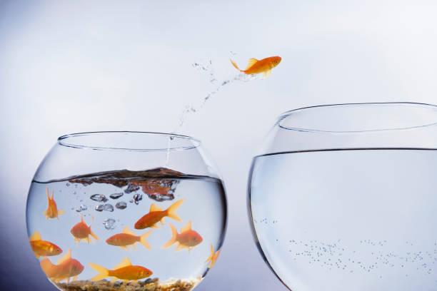 goldfisch springt zu einer größeren schüssel - individualität stock-fotos und bilder