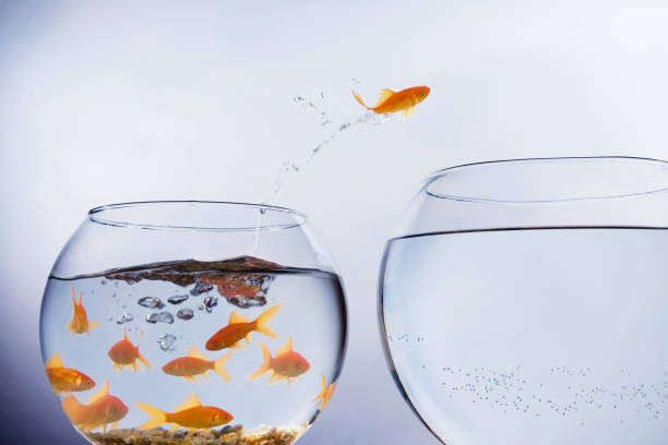 goldfish jumping to a larger bowl - animals in captivity stock pictures, royalty-free photos & images