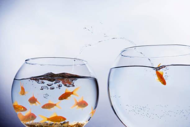 goudvis springen naar een grotere kom - claustrofobie stockfoto's en -beelden