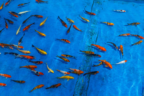 goldfish on a blue background a lot of goldfish on a blue background kuala lumpur airport stock pictures, royalty-free photos & images
