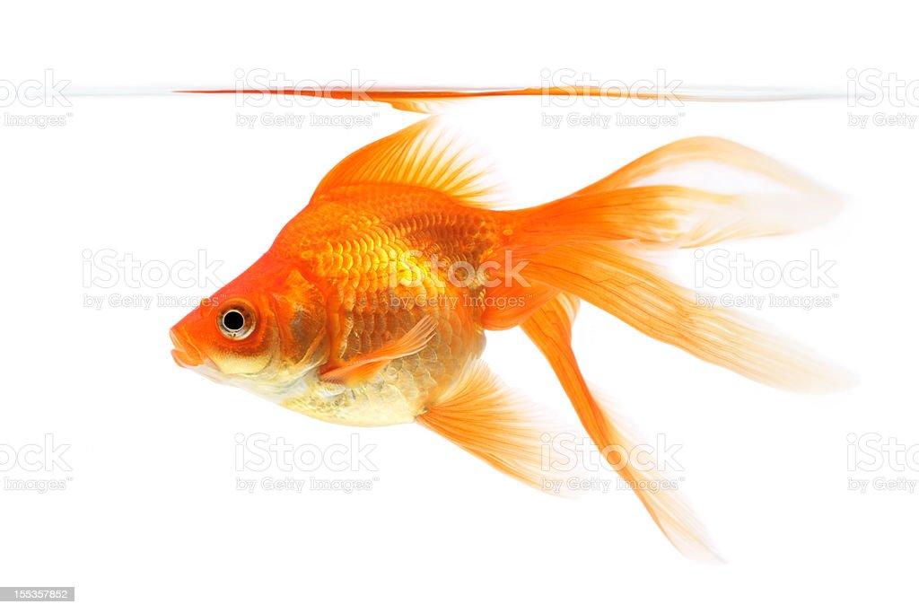 Goldfish on a white background royalty-free stock photo