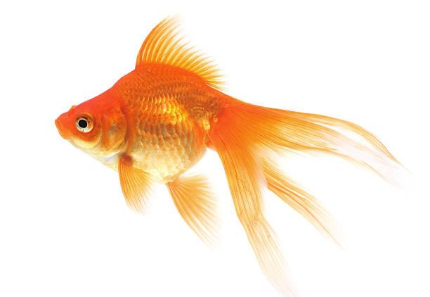 poisson rouge sur fond blanc - poisson rouge photos et images de collection