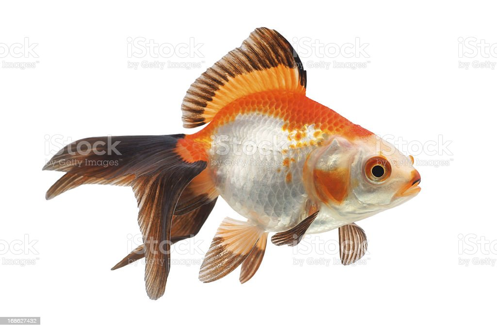 Goldfish on a white background stock photo
