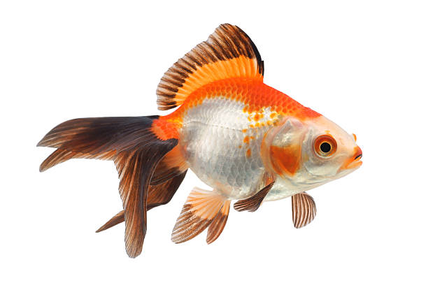 Goldfish on a white background stock photo
