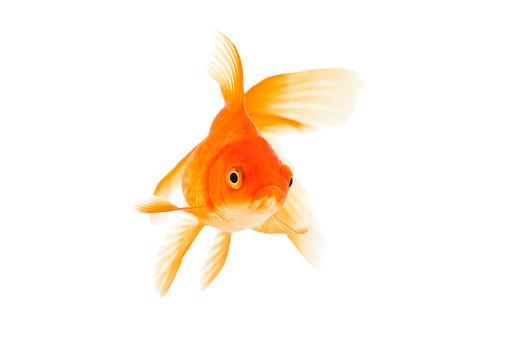 Goldfish on a white background. XXXL