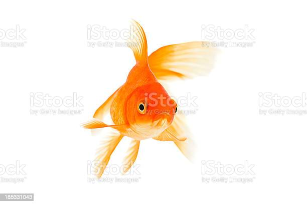 Goldfish on a white background picture id185331043?b=1&k=6&m=185331043&s=612x612&h=nom1z rbnvaihynvng4jjfiexeh9wpe80q4vgwg1nlw=