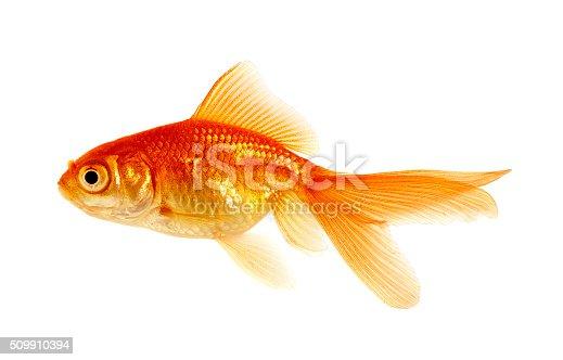 istock goldfish on a white 509910394
