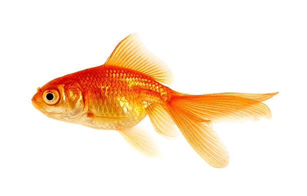 goldfish on a white stock photo