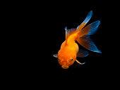 goldfish on black background,Goldfish swimming on black background ,Gold fish,Decorative aquarium fish,Gold fish. Isolation on the black.