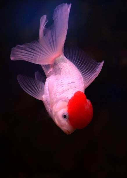 Goldfisch (Carassius Auratus) – Foto