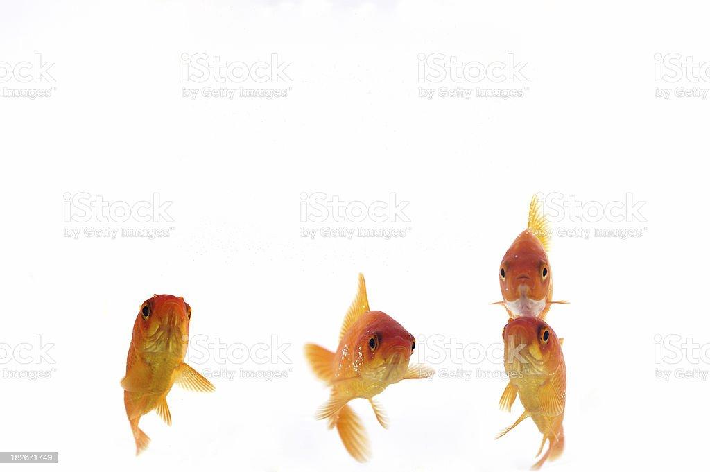 Goldfish royalty-free stock photo