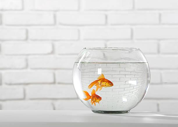 goldfish - home aquarium stock pictures, royalty-free photos & images
