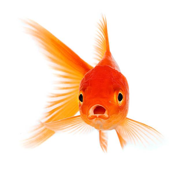 Goldfisch – Foto